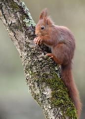 juste juste (guiguid45) Tags: nature sauvage animaux mammifères forêt loiret d810 nikon 500mmf4 écureuilroux squirrel écureuil eurasianredsquirrel affût