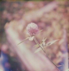 "Clover (dreamscapesxx) Tags: clover ""snapitseeit"" polavoid ""barrytonmi"" ""softanddelicate"" ""intheyard"" ""weed"" ""flower"" ""polaroidoriginalssx70film"" ""sx70sonaronestep"" polaroid instant"