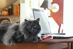 cat and mouse (Judecat (embracing autumn)) Tags: feline longhairedgreycat mouse laptop vinny