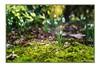 Tetralogie Vorfrühling Schneeglöckchen (günter mengedoth) Tags: quatologie vorfrühling schneeglöckchen carl zeiss jena flektogon 65 mm f 28 saariysqualitypictures pentaxflickraward pentaxk1 ricoh