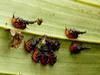 Larvae of tortoise beetles (Eerika Schulz) Tags: käfer beetle larve larva larvae larven ecuador puyo tortoise schildkäfer
