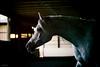 (Jen MacNeill) Tags: roze arabians arabian horse horses equine grey gray equestrian