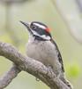 Calm Time. (Omygodtom) Tags: downywoodpecker portrait bird wildlife outside oaksbottom nikon70300mmvrlens diamond d7100 digital lines ngc