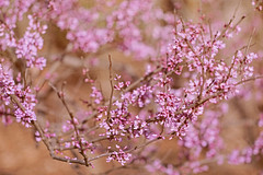 Redbuds (jeanne.marie.) Tags: textured redbud trees floweringtrees flowers spring pink 100xthe2018edition 100x2018 image34100