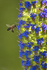 2018 Bee on Pride of Madeira (Tongho58) Tags: bee huntingtonbeach prideofmadeira