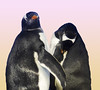 Penguin friends (Gill Stafford) Tags: gillstafford gillys image photograph bird arctic spain valencia aquarium penguin oceanografic
