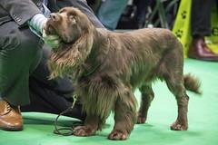 GAZ_1238 (garethdelhoy) Tags: dog sussex spaniel crufts 2018 kennel club