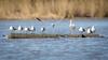 Shooting The Gap (gseloff) Tags: laughinggull whiteibis bird flight bif log nature wildlife animal water bayou armandbayou pasadena texas kayak gseloff