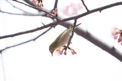 _3188198.jpg (plasticskin2001) Tags: mejiro sakura bird flower