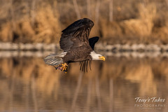Bald Eagle makes the catch - 30 of 33