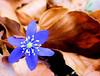 Anémone hépatique (jean-daniel david) Tags: fleur forêt anémone bleu brun feuille feuillemorte nature sousbois bokeh closeup