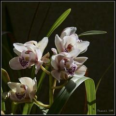 P1006309_b (daniellelallemand) Tags: orchidées cymbidium proxy lumixg9