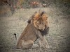 Scar Takes a Bow (The Spirit of the World ( On and Off)) Tags: scar lion malelion wildlife nature safari bigcat feline timbavati gamereserve africa southafrica grassses trees field ngc npc