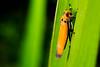 Orange Green #1 (AriyusAris) Tags: macro nature red green forest leaf leaves detail insect criket grasshopper orange