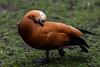 Adorable preener (PChamaeleoMH) Tags: anatidae birds centrallondon london preening ruddyshelduck stjamesspark