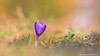 Small crocus (Alexandre D_) Tags: primelens prime vintageprime vintage manuallens manual manualondigital manualfocusing manualexposure closeup wideopen availablelight naturallight backlight backlighting shallowdof bokeh bokehlicious beyondbokeh extremebokeh smoothbokeh nature dreamy soft zen green spring europe macro makro canon eos 70d color colors couleur crocusvernus crocus flower plant fleur bokehoftheday bokehmonster bokehful dof depthoffield creamy grass nice beautiful colorful couleurs purple flowers jupiter6180mmf28 soviet sovietlens macrophotography macrophotographie proxy billymontigny france hautsdefrance sun sunnyday fineart art paint vernus springcrocus pelouse юпитер6 small frühling