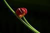 Lean On Me - verblühende Tulpe (macplatti) Tags: xt2 xf55200mmf3548rlmois green tulip wekening welken tulpe grün rot red flora nature colors koblach vorarlberg austria aut