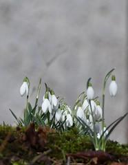 (:Linda:) Tags: germany thuringia village bürden snowdrop