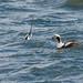 Long-Tailed Ducks, Male