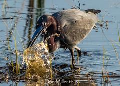 Almost... (DonMiller_ToGo) Tags: littleblueheron wildflorida wildlife nature onawalk heron outdoors birdwatching d810 birds florida