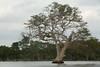 Banyan Camp (eddiebotsio) Tags: banyancamp banyantree udawalawe fishermen lake kayak canoe monkey buffalo