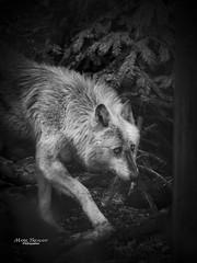 Wolf in the wood (Through-my-eyes.) Tags: dartmoorzoo dartmoor zoo zoos wolf greywolf wood trees leaves branches animal wild wildanimal