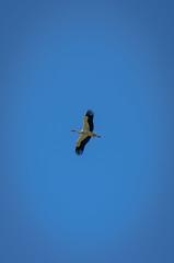 Flying 2085 (_Rjc9666_) Tags: algarve animais bird cegonha cork flying nikond5100 olhão parquedariaformosa passaros portugal tamrom70200f28 wildlife ©ruijorge9666 quelfes faro pt