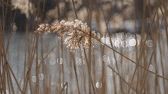 A Sunny Day at the Pond (Stefan Zwi.) Tags: teich pond bokeh licht light sun sonne winter gras plant pflanze diaplan meyergörlitz reflection sunny reflexion ngc npc