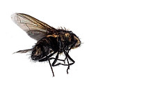 The Fly. . . (CWhatPhotos) Tags: insect deceased photographs photograph pics pictures pic picture image images foto fotos photography artistic cwhatphotos that have which contain fly closeup near sleeping dead macro olympus tg4 microscope mode setting