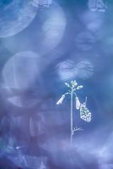 Le maitre des lumières. (SweeP_64) Tags: le maitre des lumières aurore cardamines papillon butterfly macro proxi nature cyrille masseys 6ril