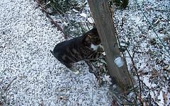 2018-03-snow (6)Minette (april-mo) Tags: snow garden nord hautsdefrance neige mars march winter minette cat chat