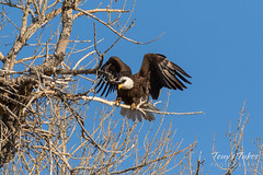 Female Bald Eagle returns to the nest - 22 of 29