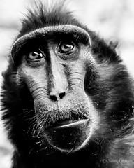 Macaque (JKmedia) Tags: monkey macaque primate zoo chester boultonphotography 2018 blackwhite bw saluwesi sulawesicrestedmacaque