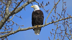 Mama on Lookout Duty (shesnuckinfuts) Tags: americanbaldeagle baldeagle haliaeetusleucocephalus riverbendeagles kentwa shesnuckinfuts march2018 nature wildlife birdofprey raptor eagle bird