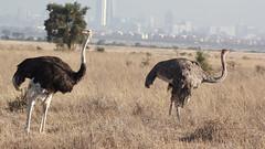 Guy looks away from girl (Nagarjun) Tags: safaritrektourscoke safari nairobinationalpark kenya africa wildlife mosesnjomo brown dawn morning sunrise sunshine