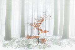 Autumn In The Mist (Luke Goodway) Tags: mist snow tree woodland leaves isolation woods d800e nikon tamron