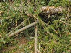 Storm damage in Salem MA (avatarsound) Tags: salem damage evergreen outside pine storm tree winddamage