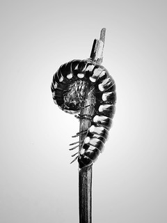 - question mark -  #iphone #questionmark #caterpillar #closeup #nature #stilllife #fineart #blackandwhite #blackandwhitephotography #blackandwhitephoto #bw #bwphotography #bnw #bnwphotography #monochrome #monochromephotography #other #freestyle