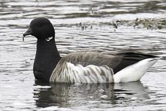 brant (material guy) Tags: brant goose easternpointwildlifesanctuary gloucester massachusetts