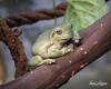 Whites Tree Frog (ToddLahman) Tags: whitestreefrog treefrog frog sandiegozoosafaripark safaripark canon7dmkii canon 50mm nifty50 canon50mm18 indoor escondido eyelock