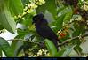Ruff Raised, a GIANT COWBIRD Male Molothrus oryzivorus Eats Pico Pico Fruit in Mindo, ECUADOR. Photo by Peter Wendelken. (Neotropical Pete) Tags: giantcowbird giantcowbirdmaledisplaysruff giantcowbirdeatingfruit giantcowbirdinmindo cowbird icterid vaquerogrande vaquero molothrusoryzivorus molothrus scaphiduraoryzivora psomocolax icteridae ecuadorcowbirds southamericancowbirds ecuadorbirds southamericanbirds acnistusarborescens solanaceae picopicofruit picopicotree mindobirds mindoicterids aves mindo pichincha ecuador photobypeterwendelken peterwendelken ngc