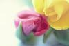 Tulip romance (victoriameyo) Tags: tulip flowers two nature beauty yellow pink petal romance backgrounds flora 7dwf