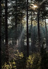 Forest light (Wouter de Bruijn) Tags: fujifilm xt2 fujinonxf56mmf12r forest tree trees nature landscape outdoor mist fog light sun sunlight beam sunbeam westenschouwen zeeland nederland netherlands holland dutch