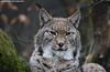 Eurasian Lynx - Zoo Duisburg (Mandenno photography) Tags: animal dierentuin animals dieren dierenpark duitsland duisburg zoo zooduisburg ngc nature eurasian european luchs lynx