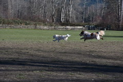 FlyingDogs_8893 (johnmoffatt2000) Tags: dogs playing leaping chasing running 425