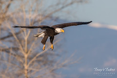 Bald Eagle makes the catch - 6 of 33