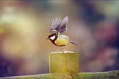 Wings... (Debbie Louise Hutchins) Tags: greattit britishbird wildbritain wildlifephotography wildlife bird birds birdwatching wildbird bokeh bokehlicious capture wild wings fly flying nikon nikond750 tamron tamron150600mm woodland