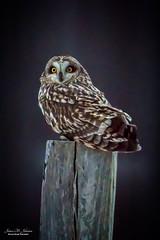 Perched Short-Eared Owl (59roadking - Jim Johnston) Tags: ifttt 500px shorteared owl bird predator raptor prey avian wildlife