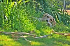 Cachorro (Valeduii) Tags: perro vallenar