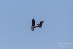 Bald Eagle theft attempt 2 - 1 of 7